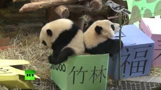 Каждой панде — по подарку: в канадском зоопарке отметили дни рождения бамбуковых медведей