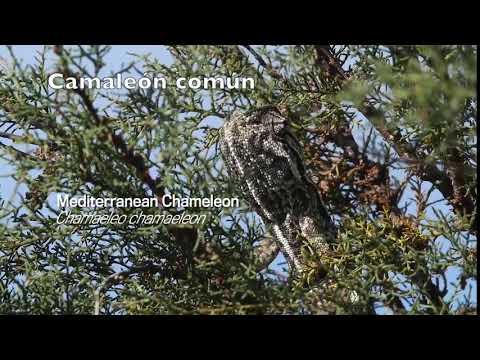 Mediterranean Chamaleon  (Chamaeleo chamaeleon)