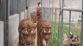 Video Tiger Temple (Official) - Out to Play MP3, 3GP, MP4, WEBM, AVI, FLV Desember 2018