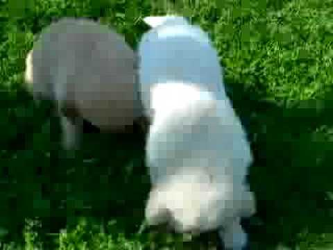 Piccolo video di 2 nostri bellissimi cuccioli di golden retriever