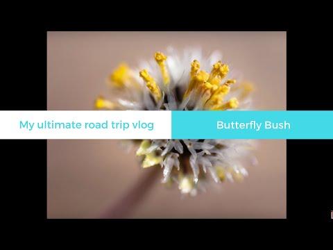 Behind the Scene: Butterfly Bush