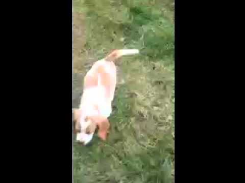 AKC Registered Beagle Puppy  Located Philipsburg PA 16866