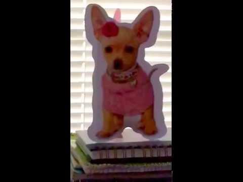 Funny Shih Tzu Chihuahua Showdown