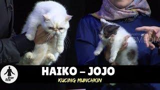 Video HAIKO & JOJO, KUCING MUNCHKIN | HITAM PUTIH (19/03/18) 1-4 MP3, 3GP, MP4, WEBM, AVI, FLV Mei 2019