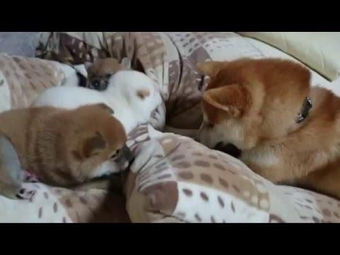 狗爸爸故意吵醒睡眠中的狗寶寶被老婆發現後,牠超丟臉的下場害大家都笑到不斷按重播