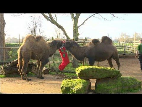 London/Großbritannien: Londoner Zoo-Tiere bekommen einen Vorgeschmack auf Weihnachten