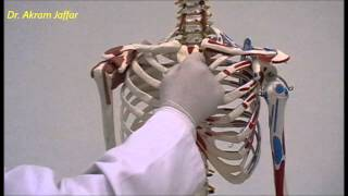 Osteology Of Thoracic Cage: Sternum