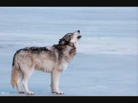 Tekst piosenki Folkearth - Wolfsong In Moonlight (Fenris Unbound) po polsku