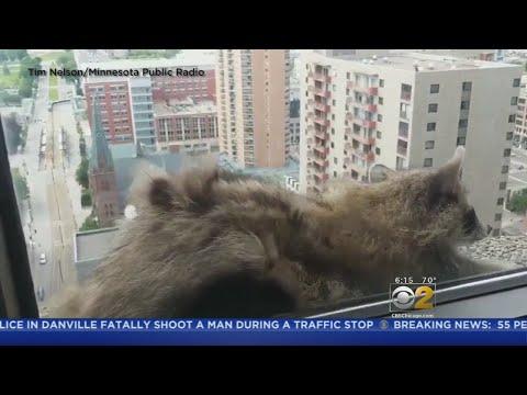 Raccoon Climbs Minnesota Skyscraper, Gets Stuck On Ledge