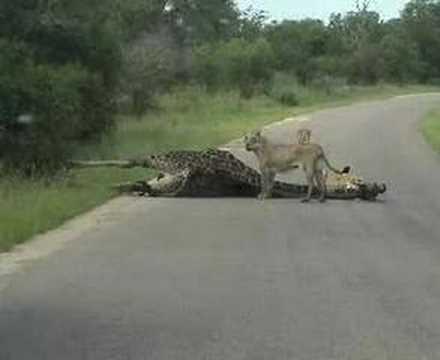 "First EVER ""Lion KILLS Giraffe"" Caught on Tape!!!"