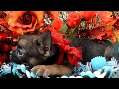 Thor AKC Sable Male French Bulldog Puppy for sale