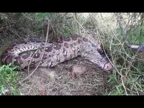 Python swallowed a moose in Gal Oya National Park Sri Lanka (Part 02)