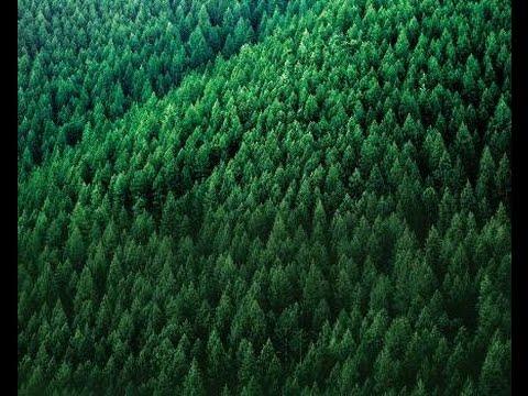 Thumbnail image for Pine Tree Pest Biocontrol