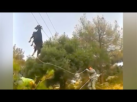 Ozzy Man s Commentary on Guys Rescuing Goat on Power