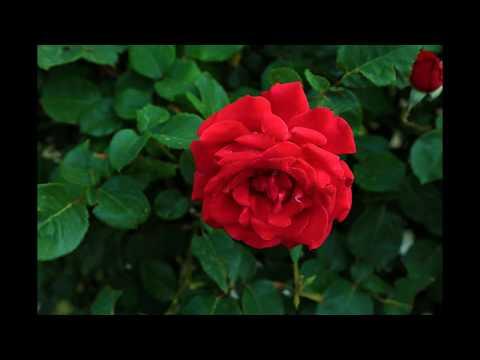 Imagenes bonitas de amor - LAS ROSAS ROJAS MÁS HERMOSAS QUE JAMÁS VERAS EN OTRO VIDEO para CONCHITA SANDOVAL   DJ KIKITO