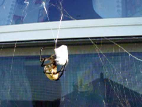 Garden Spider Vs Wasp