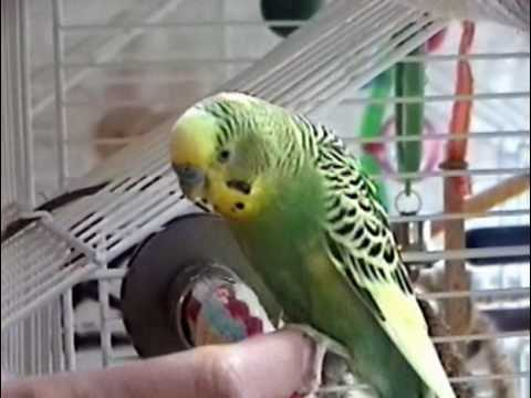 Parakeets Surf the Ceiling Fan