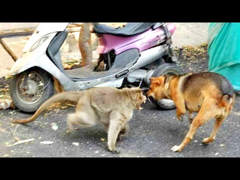 Dog Vs Monkey Real & Deadliest Fight EVER