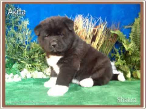 *SHAKRA* AKC, Champion Sired Female Akita, Born 12212012