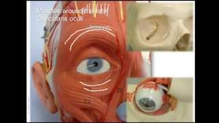 Anatomy Of Upper Facial Muscles