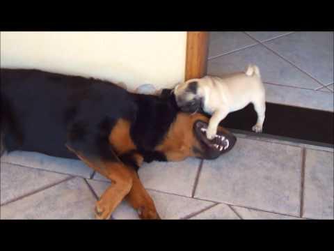 Combate Rottweiler x Pug