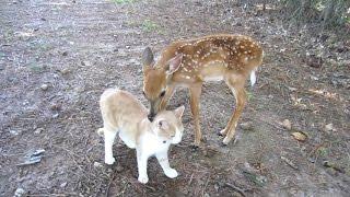 Необычная дружба кота и олененка