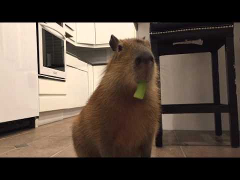 Sweetie The Capy Eating Celery