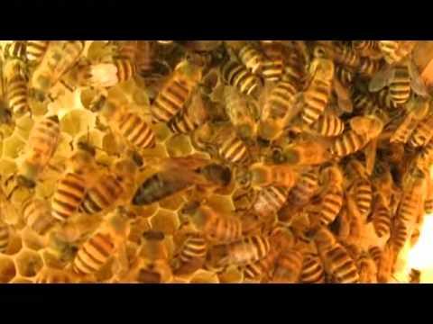 Queen bee of Japanese honeybee @ hive in the open space