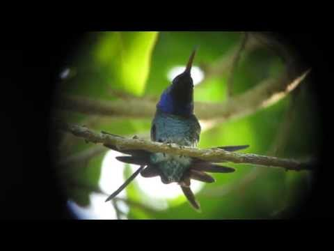 Endemic Sapphire bellied Hummingbird   Lepidopyga lilliae   Isla Salamanca, Caribbean Lowlands
