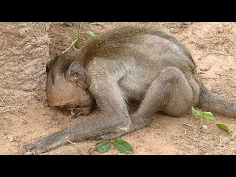Adorable Poor Baby Julina vs Duke Baby Monkey | Monkey Crying