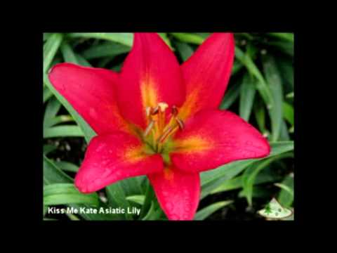 New Asiatic Lily Flower Pictures