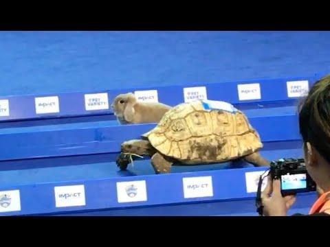 Tortoise vs. Hare (Thailand) 2016