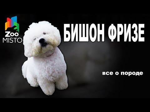 Бишон Фризе - Все о породе собаки