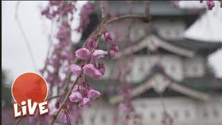 Live from Hirosaki Castle Park at one of Japan's top Sakura berry blossom festivals.