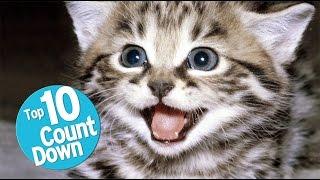 Video Top 10 Domesticated Cat Breeds MP3, 3GP, MP4, WEBM, AVI, FLV Juli 2018