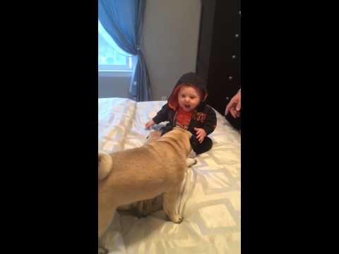 8-month-old Kennedy giggles hysterically when her pugs try to play with her!