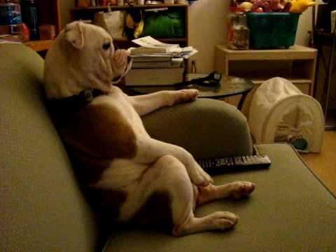 Bulldog viendo Padre de Familia desde el sillón
