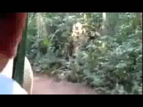 Filman a un Yaguaret� en senderos de Cataratas, del lado brasile�o