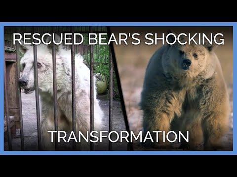 熊熊被「關籠30年」瘦成了皮包骨,但當牠被野放半年後…都快認不出是同一隻了!
