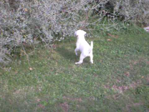 cuccioli di Parson Russell Terrier  di Montefiore