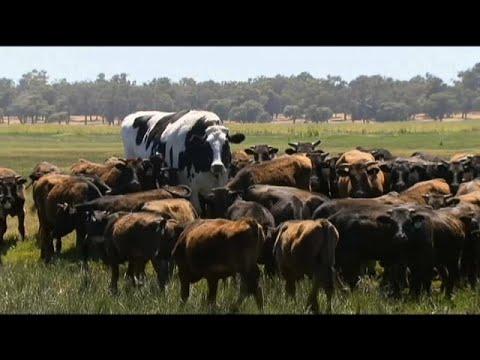 Αυστραλία: Η δίμετρη αγελάδα!