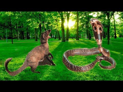 Mongoose Vs Cobra || Snake Fight Videos