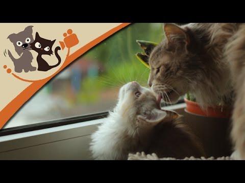 Katzen: Maine Coon Katzen - Die sanften Riesen im Por ...