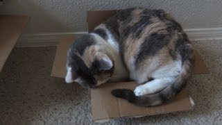 Fat cat struggles to fit into tiny box