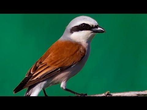 Обыкновенный жулан - Red backed shrike
