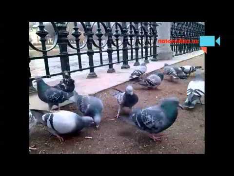 Invalidní holuby v Praze.