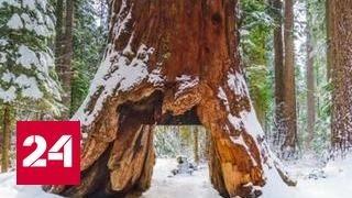 В Калифорнии рухнула известная на весь мир секвойя с тоннелем в стволе