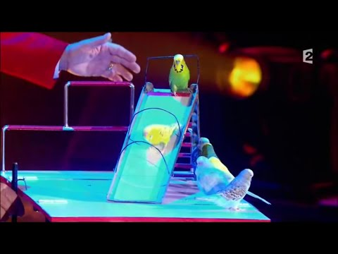 These Parakeets Are Performing Professionals!