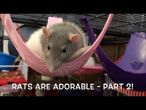 Rats are ADORABLE - Cute Rats Compilation Part 2!