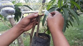 Video CLONING MANGO TREE sub: english MP3, 3GP, MP4, WEBM, AVI, FLV Oktober 2018